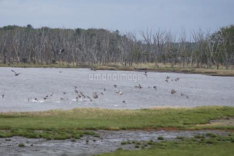 野付半島の風景 ナナワラ(野鳥の群れ)の写真素材 [FYI02893590]