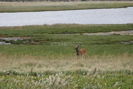 野付半島の風景 ナナワラ(エゾシカ)の写真素材 [FYI02893593]