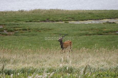 野付半島の風景 ナナワラ(エゾシカ)の写真素材 [FYI02893595]