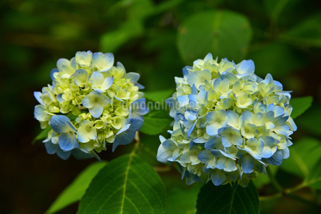 紫陽花の写真素材 [FYI02893617]