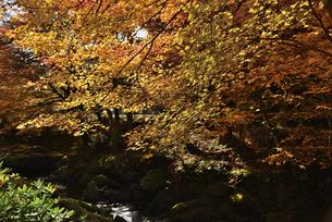 渓流に掛かる紅葉の写真素材 [FYI02893618]
