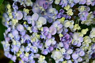 紫陽花の写真素材 [FYI02893622]