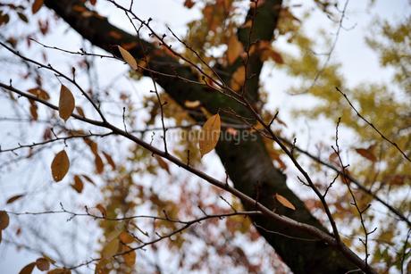 枯れ葉の写真素材 [FYI02893624]