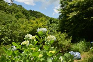 山間の紫陽花の写真素材 [FYI02893627]