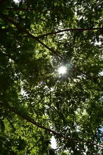 新緑と光芒の写真素材 [FYI02893628]