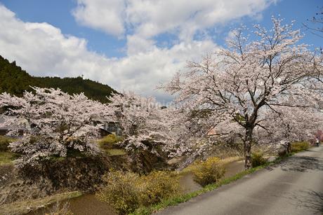 川辺の桜並木の写真素材 [FYI02893632]