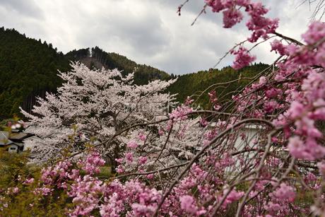 桜並木の写真素材 [FYI02893633]