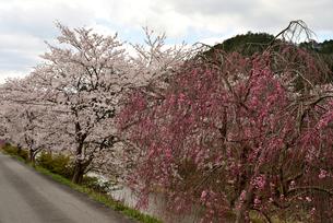 川辺の桜の写真素材 [FYI02893634]