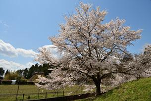 一本桜の写真素材 [FYI02893635]