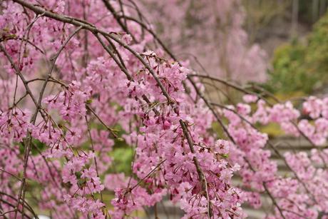 枝垂れ桜の写真素材 [FYI02893636]
