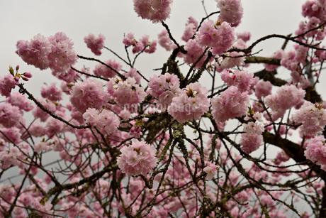八重桜の写真素材 [FYI02893637]