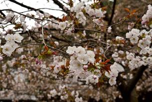 山桜の写真素材 [FYI02893638]