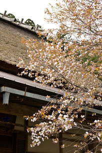 山桜の写真素材 [FYI02893639]