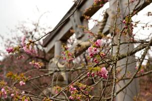 鳥居と桜の蕾の写真素材 [FYI02893642]