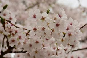 桜の花の写真素材 [FYI02893643]