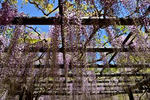 藤棚から枝垂れる藤の花の写真素材 [FYI02893644]