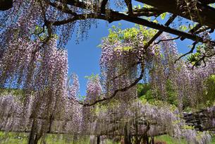 青空の下の藤の花の写真素材 [FYI02893645]