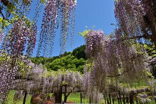 青空に藤の花の写真素材 [FYI02893646]
