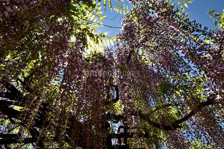藤の花と光芒の写真素材 [FYI02893647]