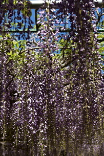 満開の藤の花の写真素材 [FYI02893653]