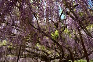 棚から枝垂れる藤の花の写真素材 [FYI02893656]