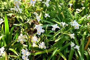 シャガの花の写真素材 [FYI02893659]