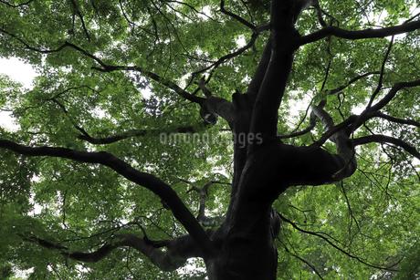 モミジの木の写真素材 [FYI02893688]