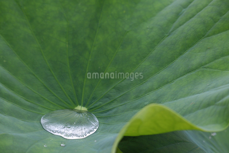 ハスの葉としずくの写真素材 [FYI02893690]