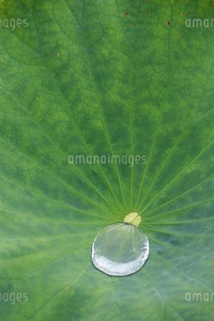 ハスの葉としずくの写真素材 [FYI02893691]