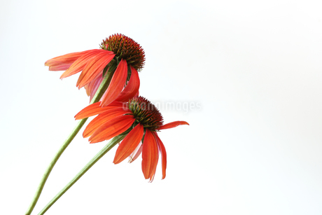 エキナセアの写真素材 [FYI02893845]
