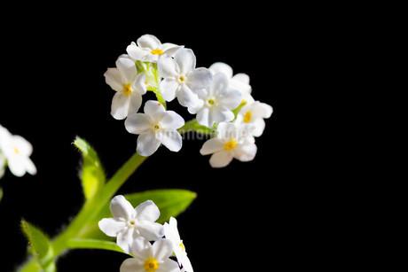 黒背景の白いのワスレナグサの写真素材 [FYI02896033]