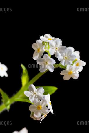 黒背景の白いのワスレナグサの写真素材 [FYI02896034]
