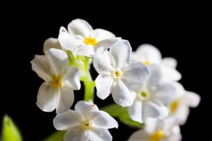 黒背景の白いのワスレナグサの写真素材 [FYI02896035]
