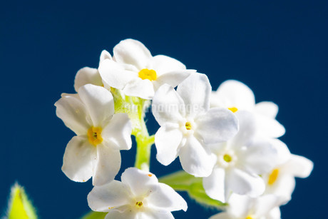 青背景の白いのワスレナグサの写真素材 [FYI02896036]