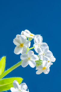 青背景の白いのワスレナグサの写真素材 [FYI02896037]