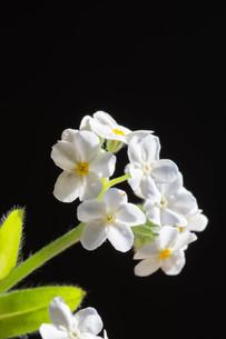 黒背景の白いのワスレナグサの写真素材 [FYI02896038]