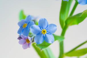 白背景の青いのワスレナグサの写真素材 [FYI02896039]