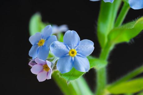 黒背景の青いのワスレナグサの写真素材 [FYI02896040]