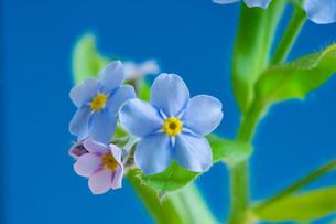 青背景の青いのワスレナグサの写真素材 [FYI02896041]