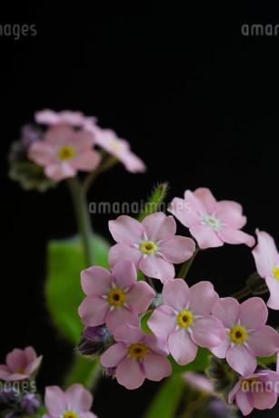 黒背景のピンクのワスレナグサの写真素材 [FYI02896042]