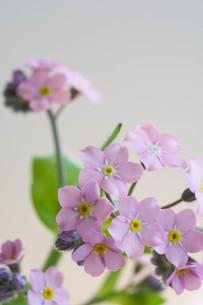 白背景のピンクのワスレナグサの写真素材 [FYI02896043]