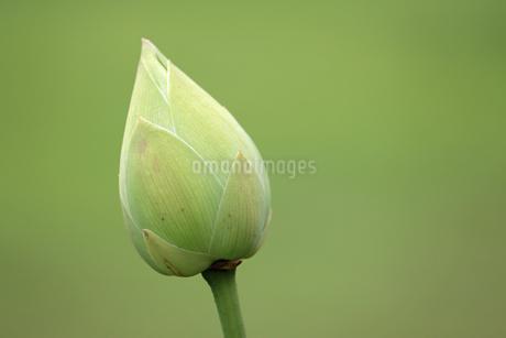 白いハスのつぼみの写真素材 [FYI02896054]