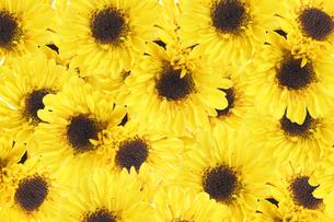 菊の背景画像の写真素材 [FYI02896098]