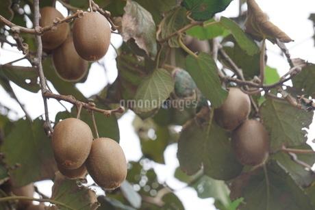 キウイフルーツの写真素材 [FYI02900329]