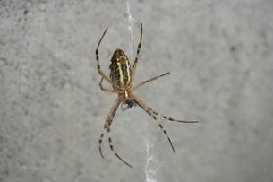 クモの写真素材 [FYI02900334]