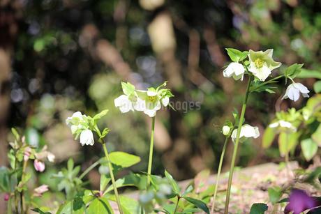 クリスマスローズの花の写真素材 [FYI02904438]