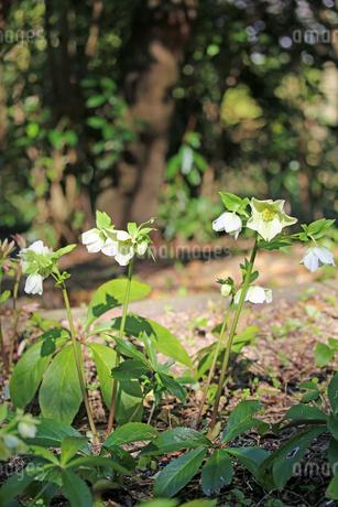 クリスマスローズの花の写真素材 [FYI02904439]