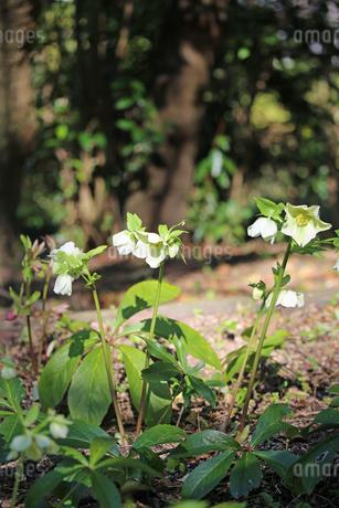クリスマスローズの花の写真素材 [FYI02904440]