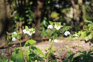 クリスマスローズの花の写真素材 [FYI02904441]