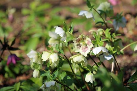 クリスマスローズの花の写真素材 [FYI02904449]
